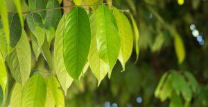 Beneficios para la salud del aceite esencial de ocotea