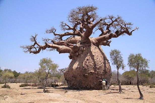 beneficios del baobab