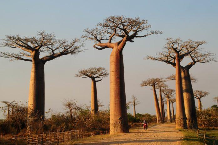 Beneficios para la salud del baobab