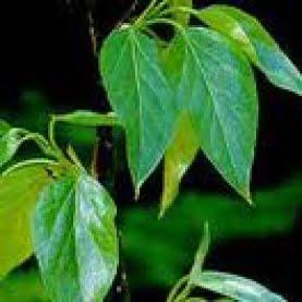 Beneficios para la salud del aceite esencial de bálsamo de Perú