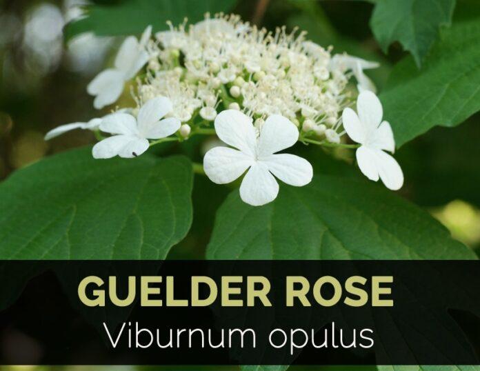 Beneficios para la salud de la rosa de guelder