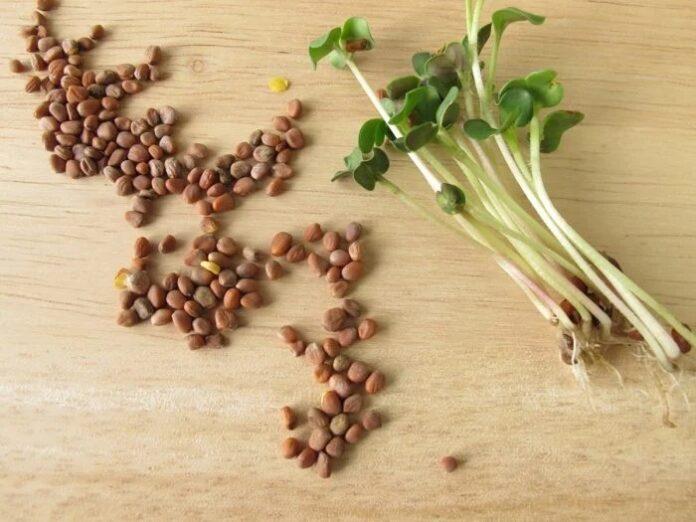 polvo de semilla de rábano