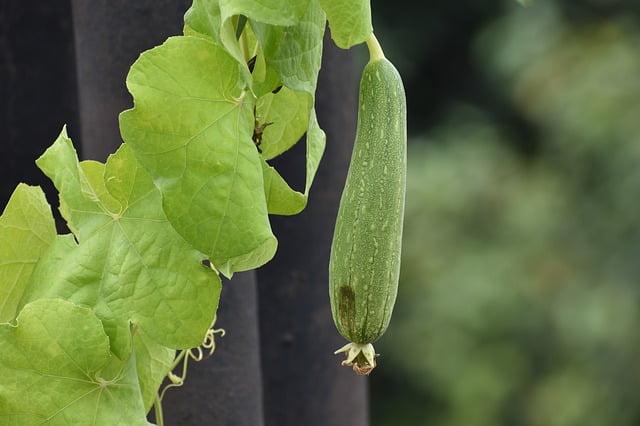 Beneficios para la salud de la calabaza de cresta