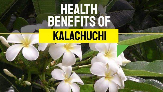 Beneficios para la salud de kalachuchi