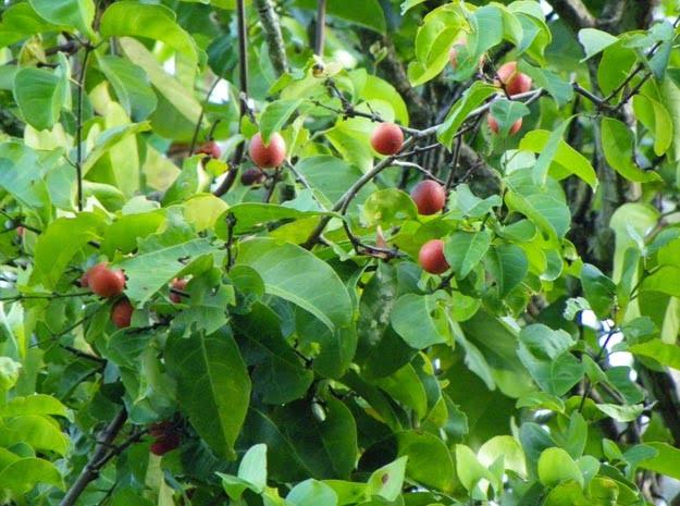 Beneficios para la salud de Salacia reticulate